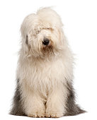 Old English Sheepdog, 2 and a half years old, sitting
