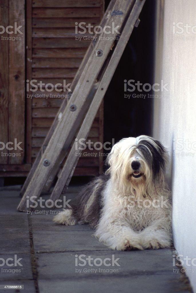 Old English Sheepdog under ladder stock photo