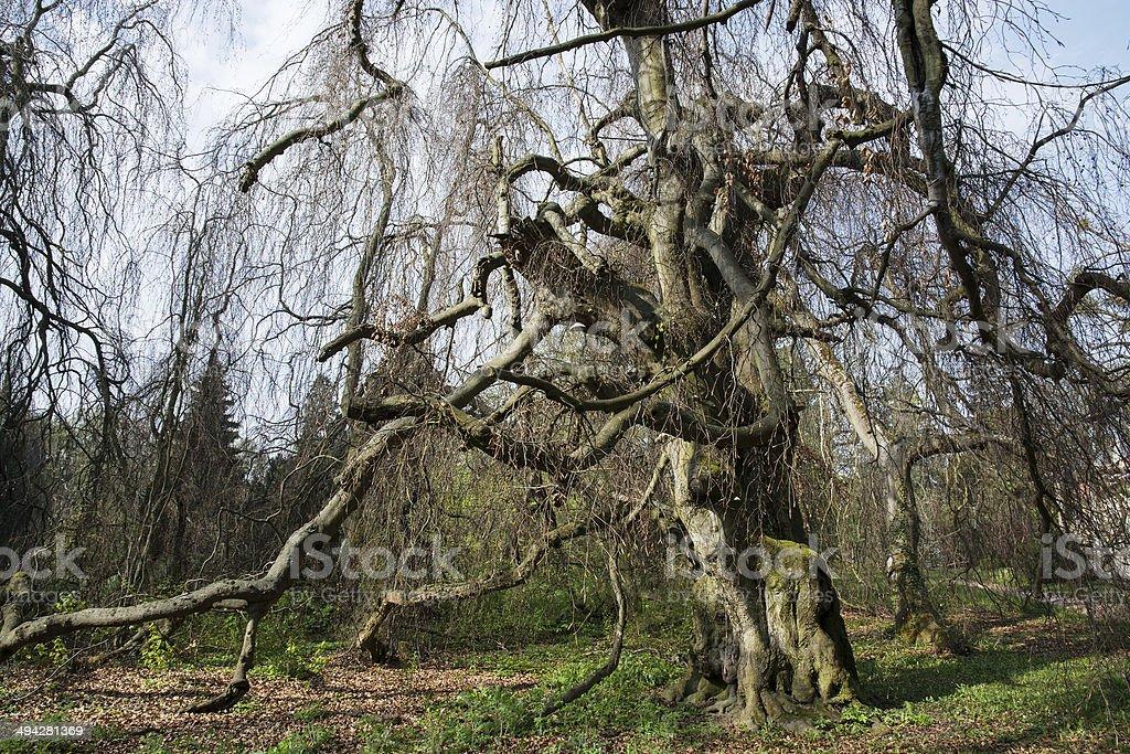 Old european beech (fagus sylvatica) in the park royalty-free stock photo