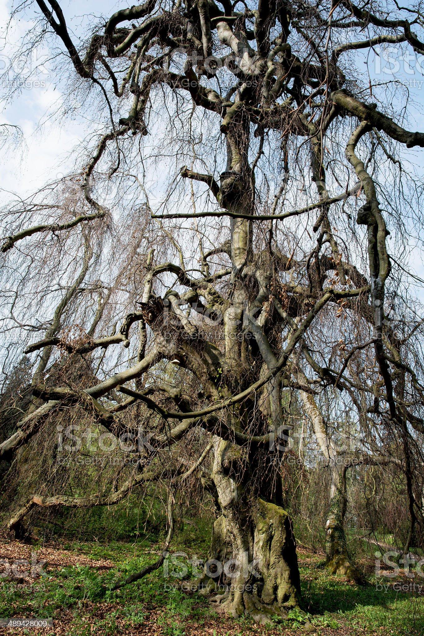 Old european beech (fagus sylvatica) royalty-free stock photo