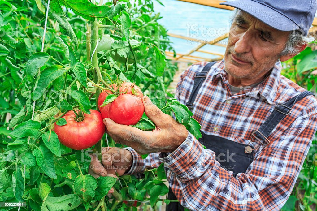 Old farm worker harvetsing tomatoes from greenhouse stock photo