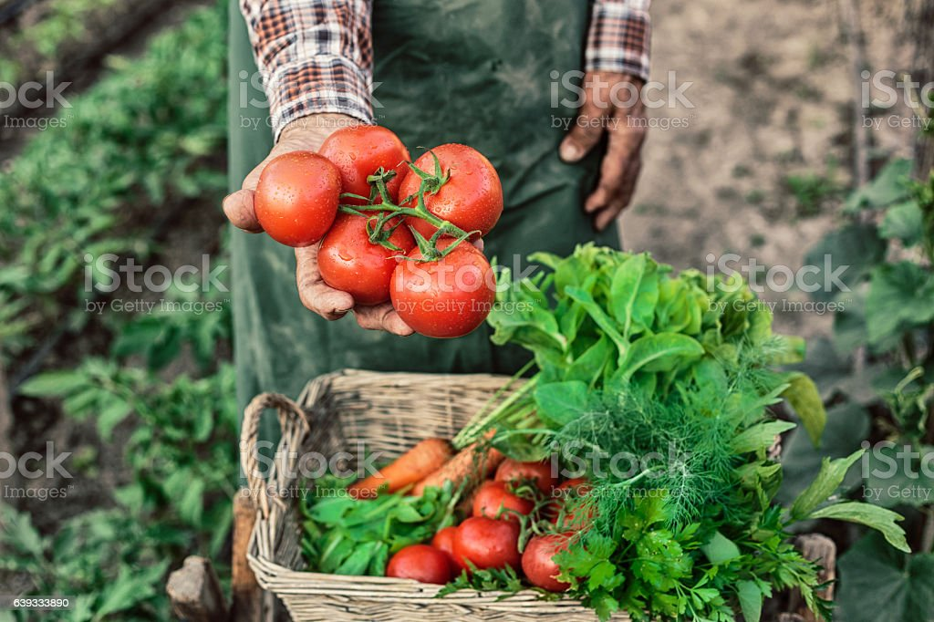 Old farm worker showing a bunch of tomatoes stock photo
