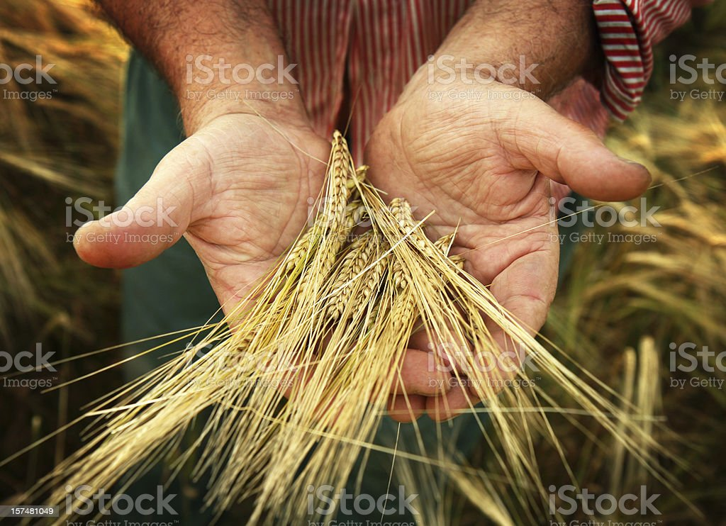 old farmer and his harvest stock photo