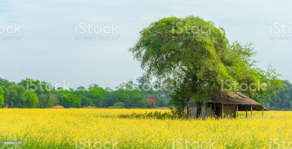 Old farmer hut in sunn hemp field. stock photo