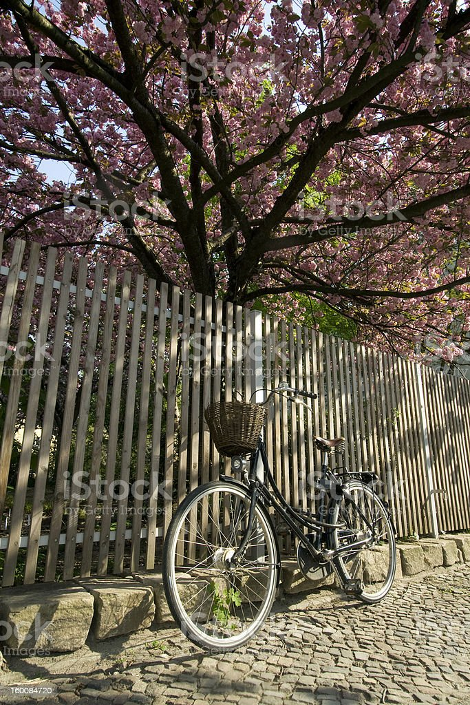 old fashioned bycicle against fence under flowering cherry tree stock photo