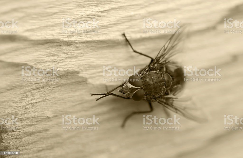 Old Fashioned Fly royalty-free stock photo