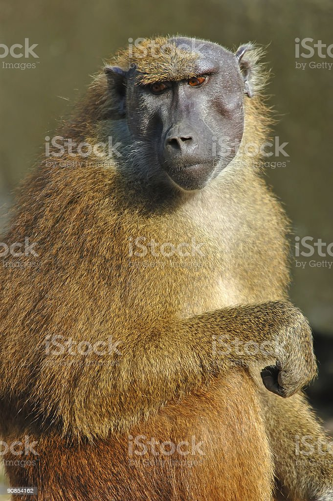 Old female baboon royalty-free stock photo