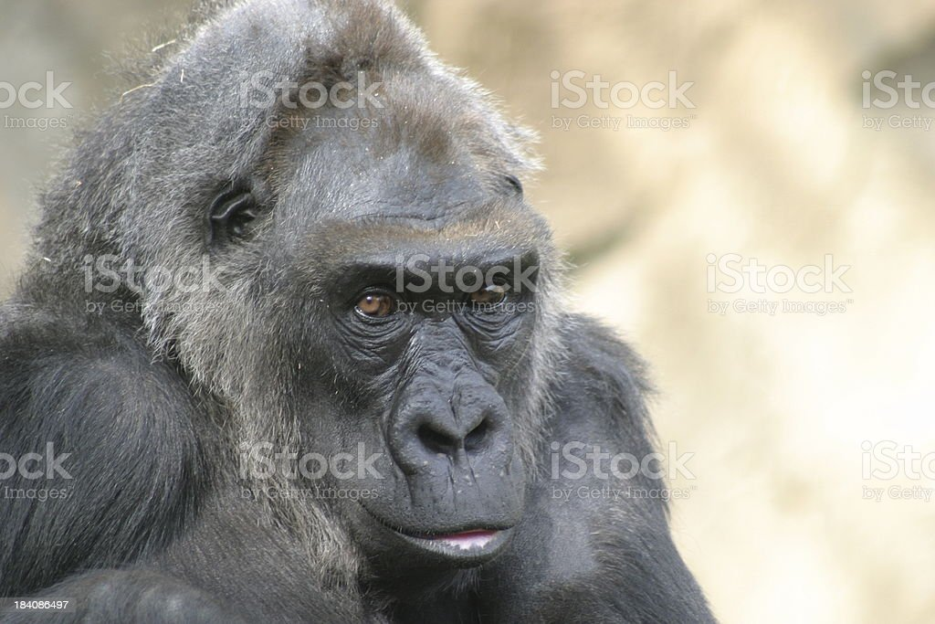 Old Female Gorilla stock photo