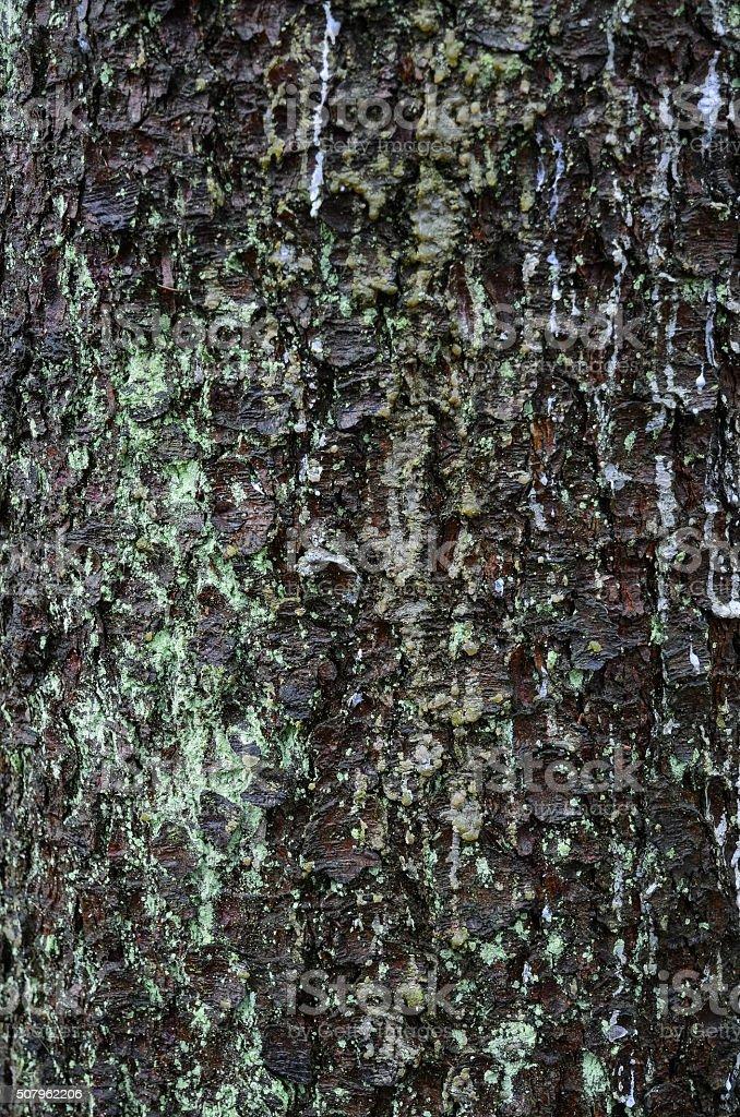 Old fir tree bark natural texture stock photo
