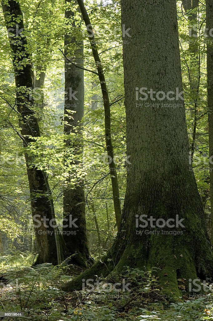 Old forest full of light royalty-free stock photo