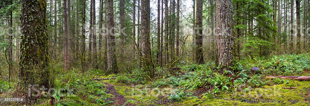 Old Forest Panorama stock photo