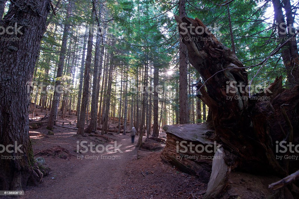 Old forest with footpath with fallen trees and roots stock photo