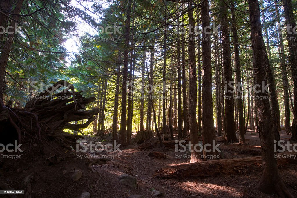 Old forest with rotten fallen trees with powerful roots stock photo