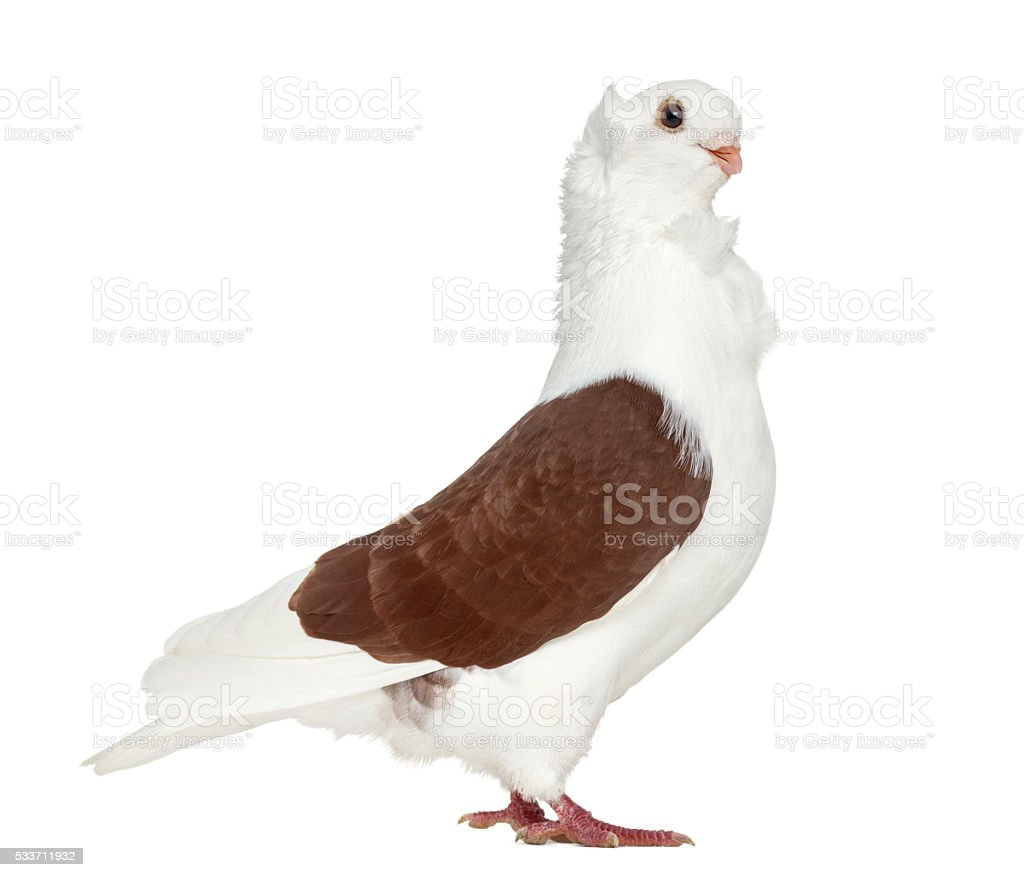 Old German Owl Pigeon isolated on white stock photo