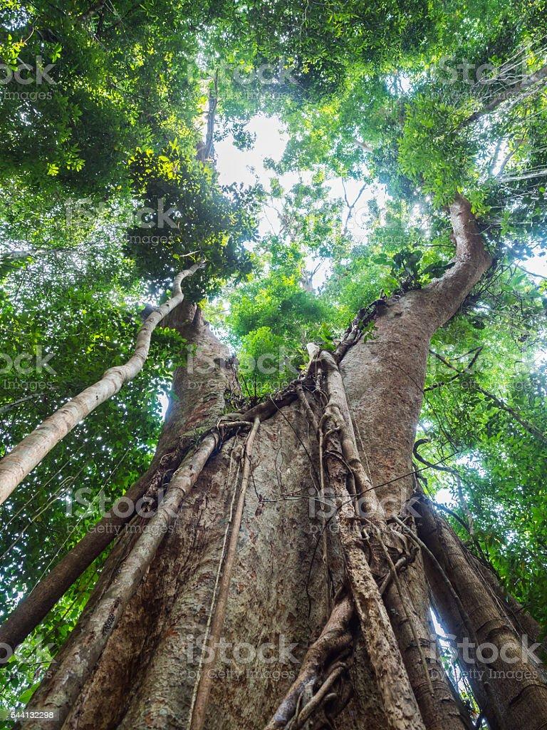 Old giant rain tree stock photo