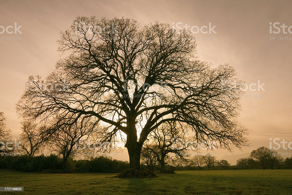 Old Giant Tree royalty-free stock photo