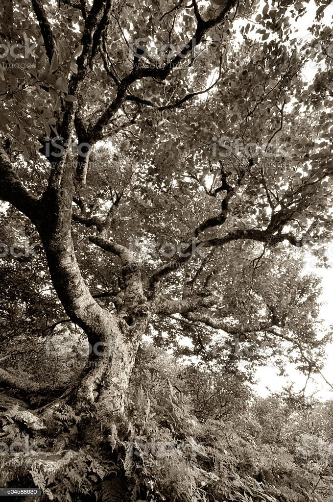 Old gnarled beech tree at Craggy Gardens stock photo