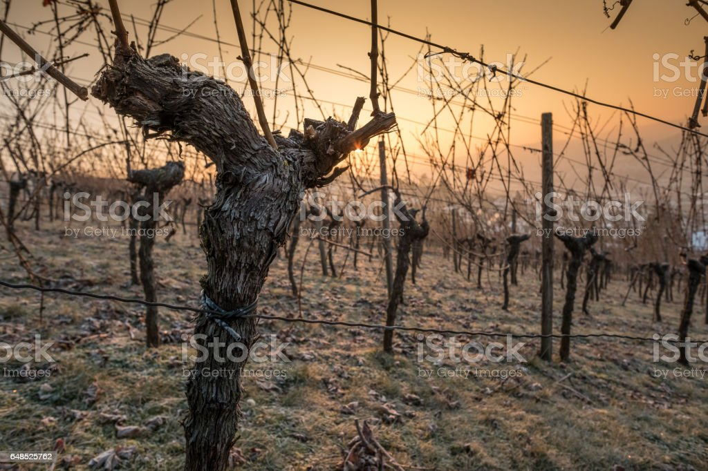 Old gnarled grapevine with bark in the light of the sun stock photo