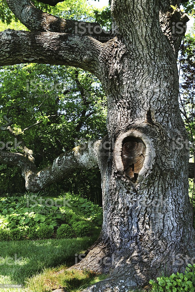 Old Gnarled Tree, Crooked Branches Garden Suburbia royalty-free stock photo