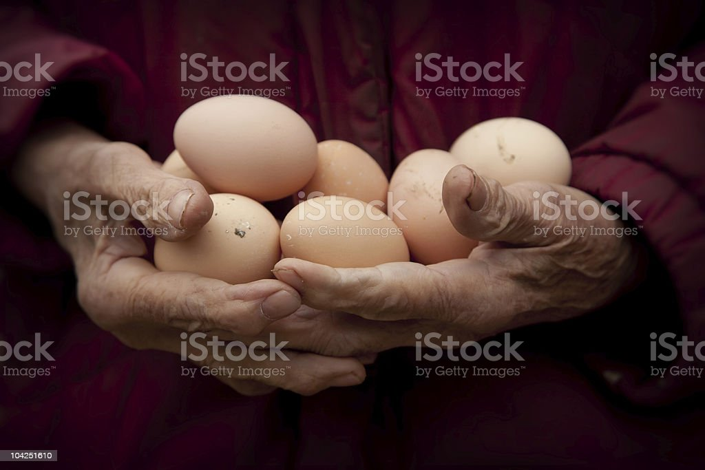 old granny hands holding fresh eggs stock photo
