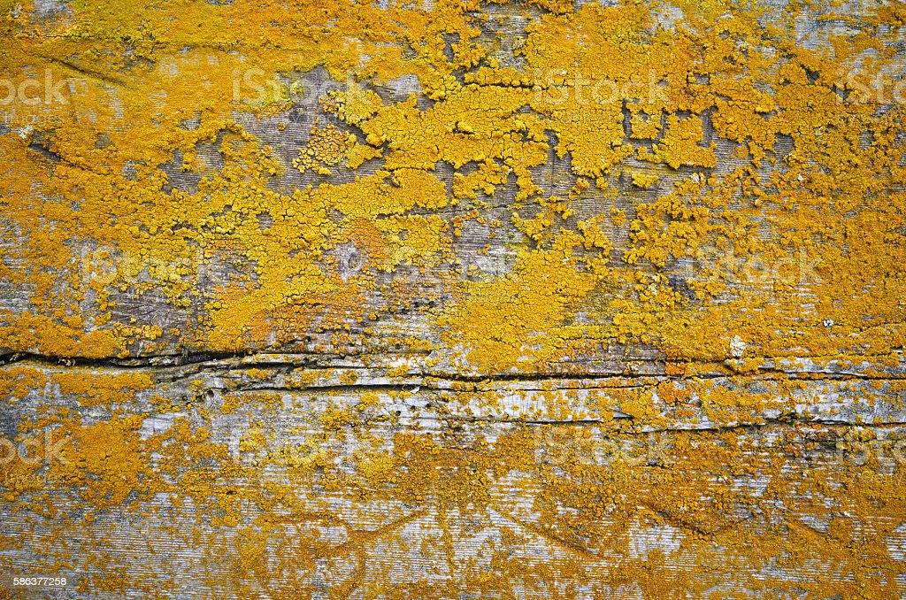 Old gray wooden texture background with yellow lichen stock photo