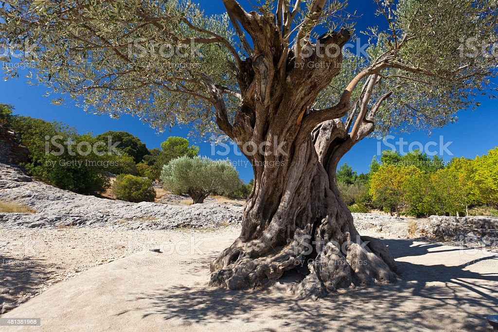 Old green olive tree at sunny day with blue sky stock photo