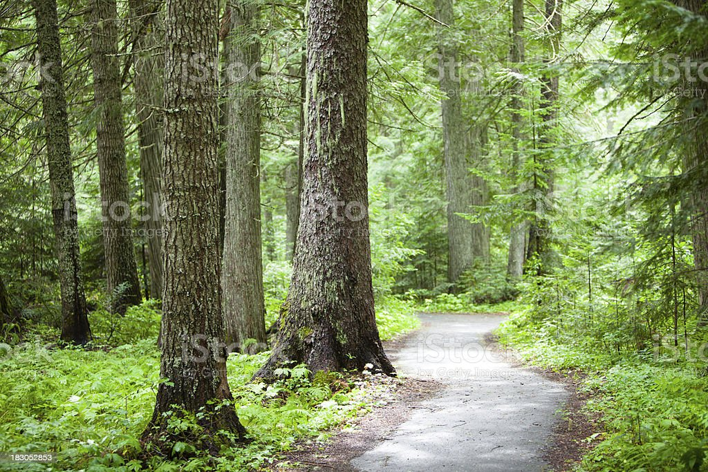 Old growth cedar forest royalty-free stock photo