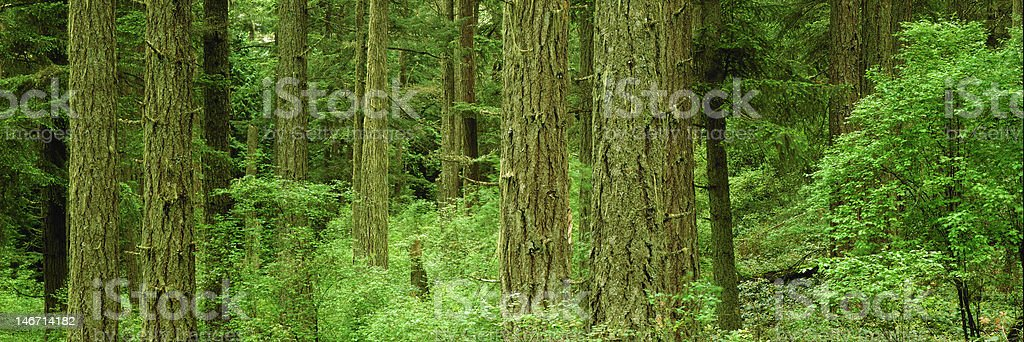 Old Growth forest on Saltspring Island, British Columbia. stock photo