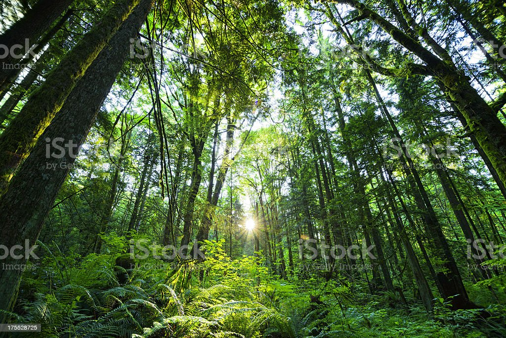 Old Growth Forest royalty-free stock photo