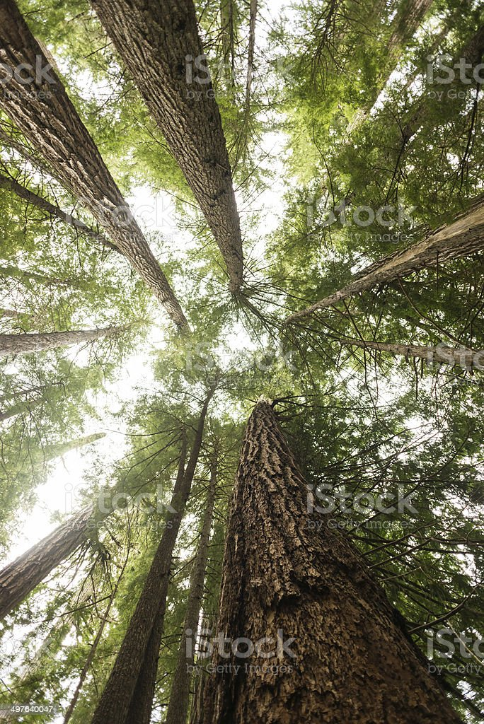 Old Growth Forest stock photo