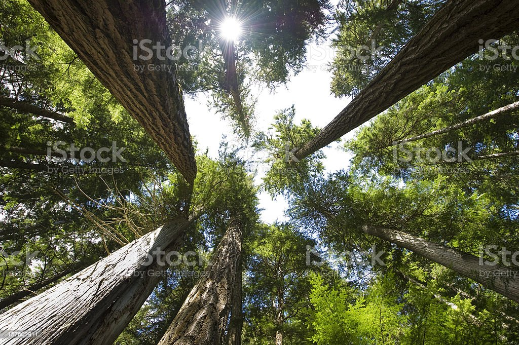 Old growth forest with tall trees stock photo