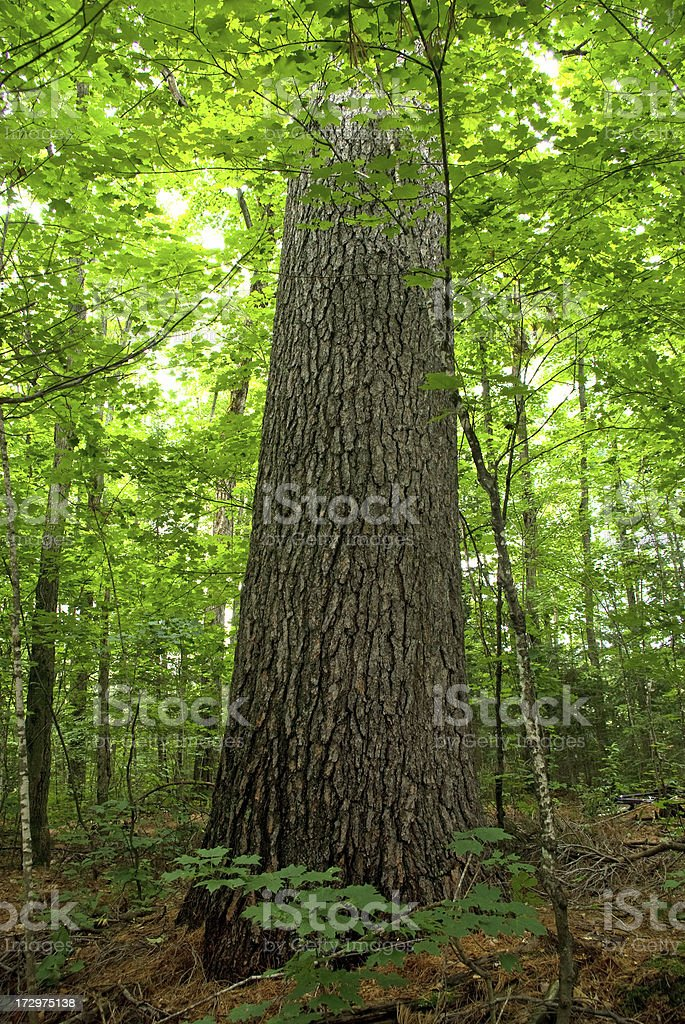 Old Growth Pine stock photo