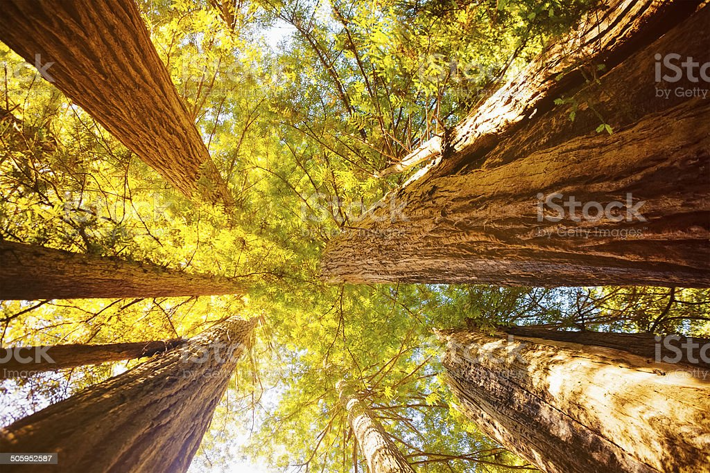 Old Growth Sequoia Trees stock photo