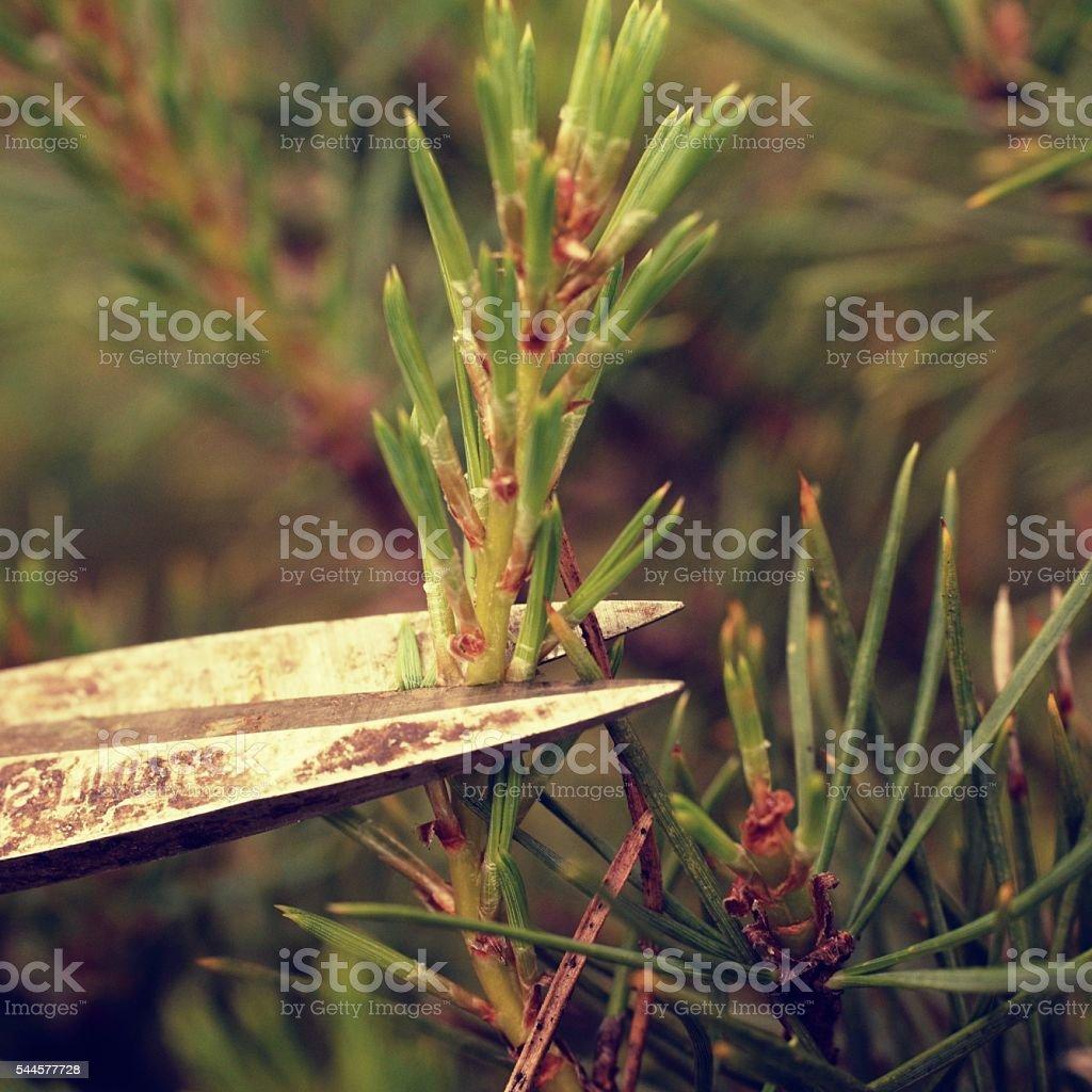 Old hand of  artistic gardener trimming bonsai tree. Cut twig stock photo
