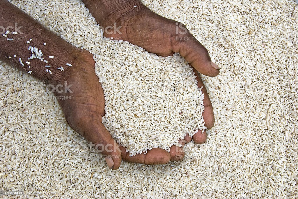 Old hands holding precious raw rice stock photo
