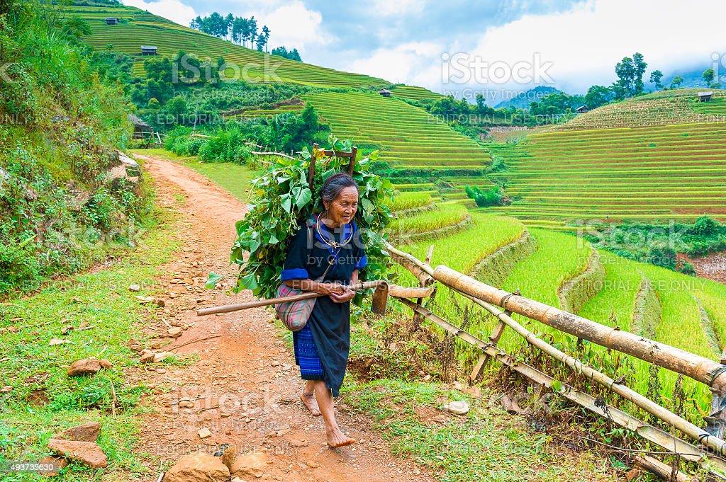 Old Hmong woman walks on  rice terraced field stock photo