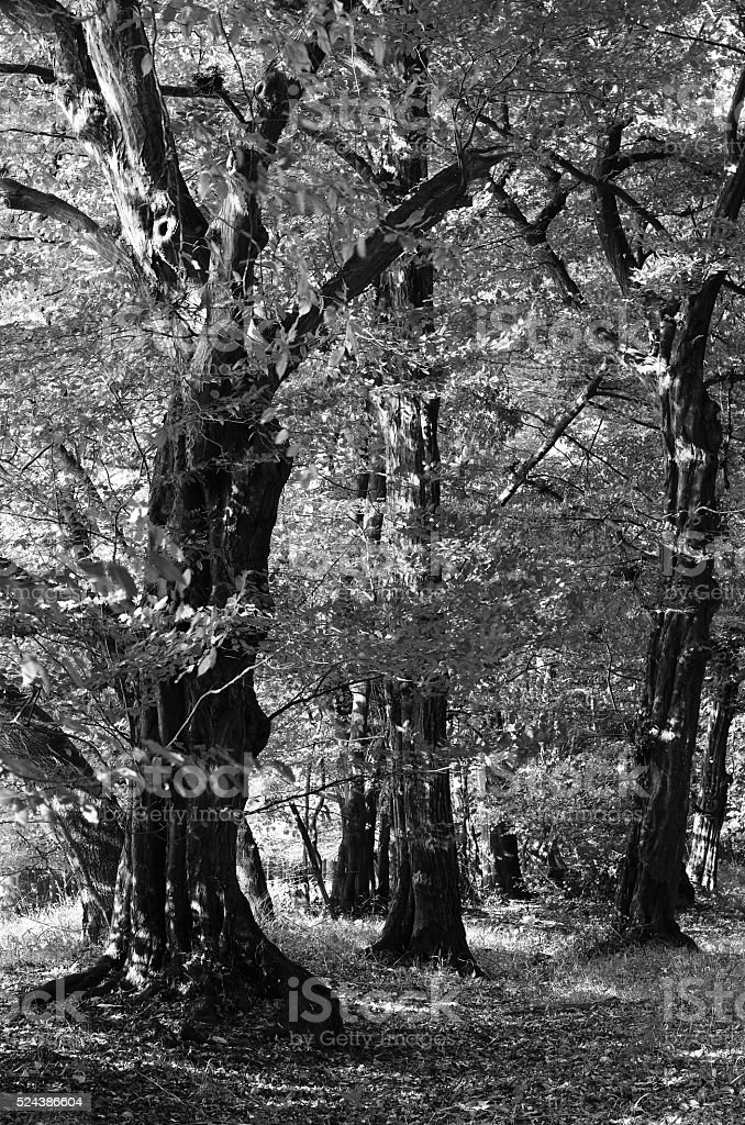 Old hornbeams in a forest. stock photo
