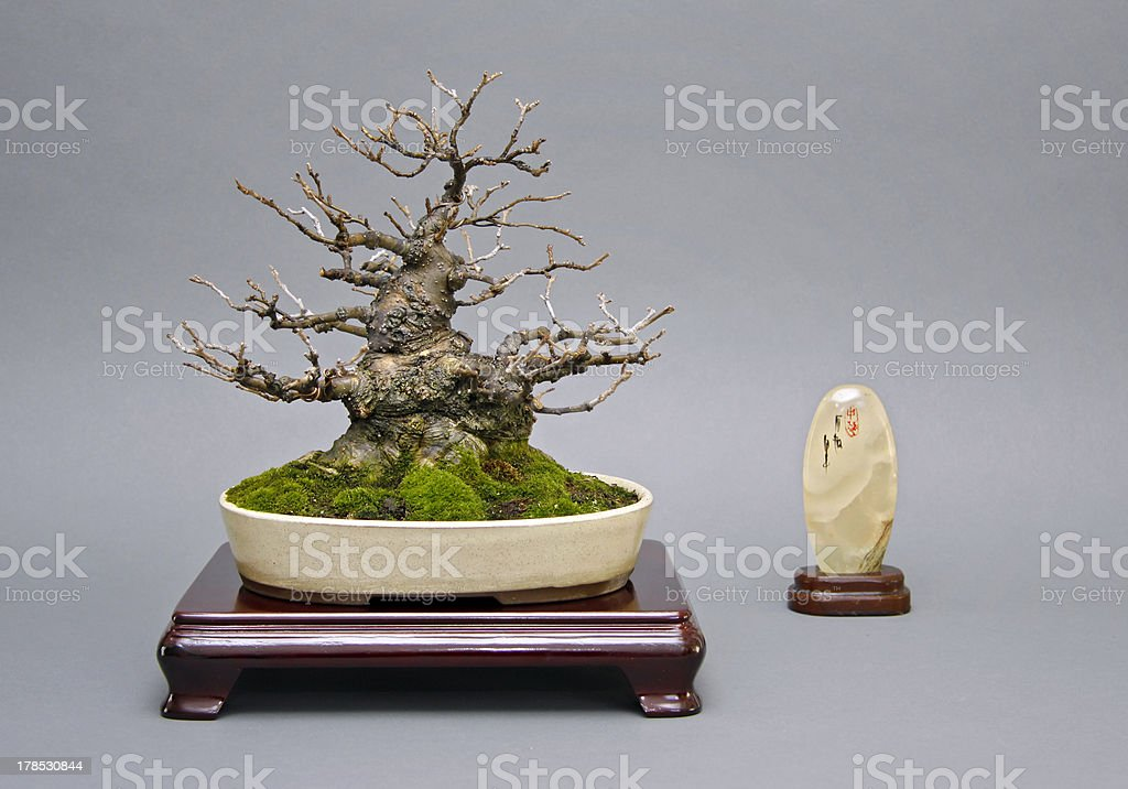 Old Ilex bonsai on Japanese table royalty-free stock photo