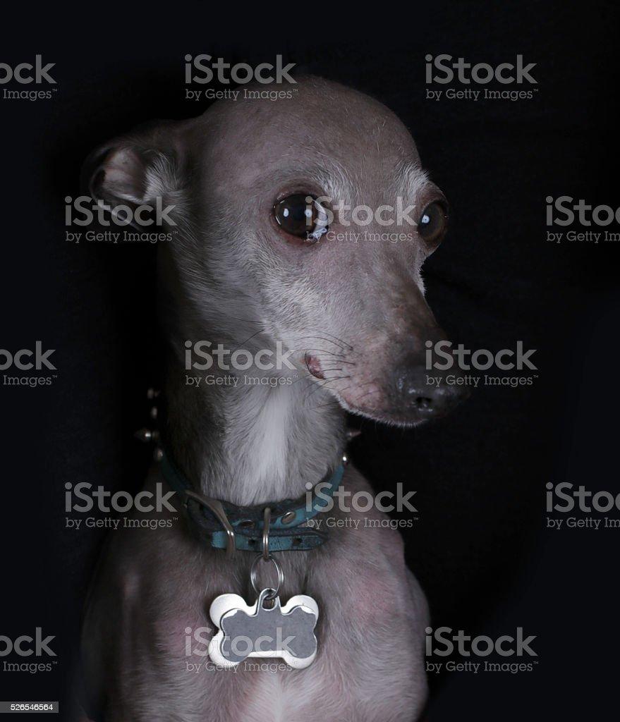 Old Italian Greyhound stock photo