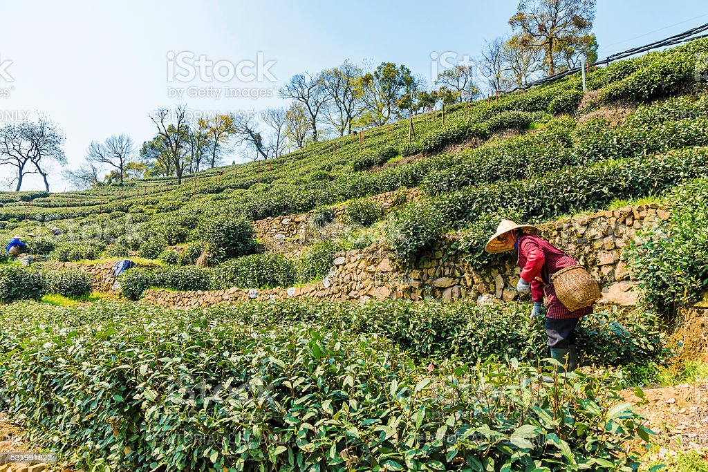 Old lady tea farmer in Longjing stock photo