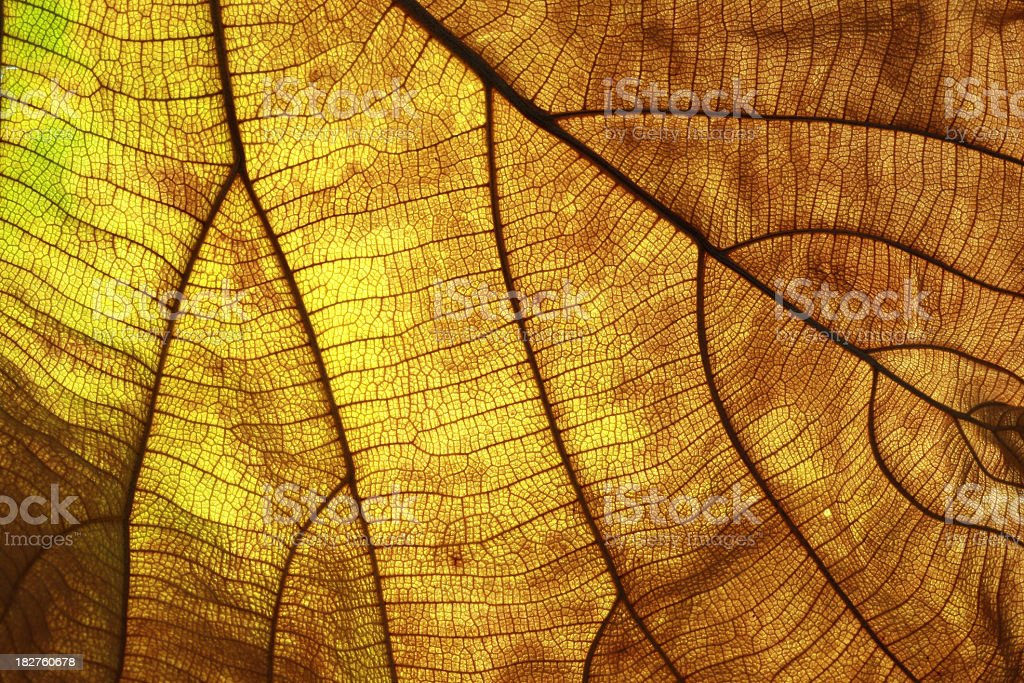 Old leaf transparance on back light royalty-free stock photo