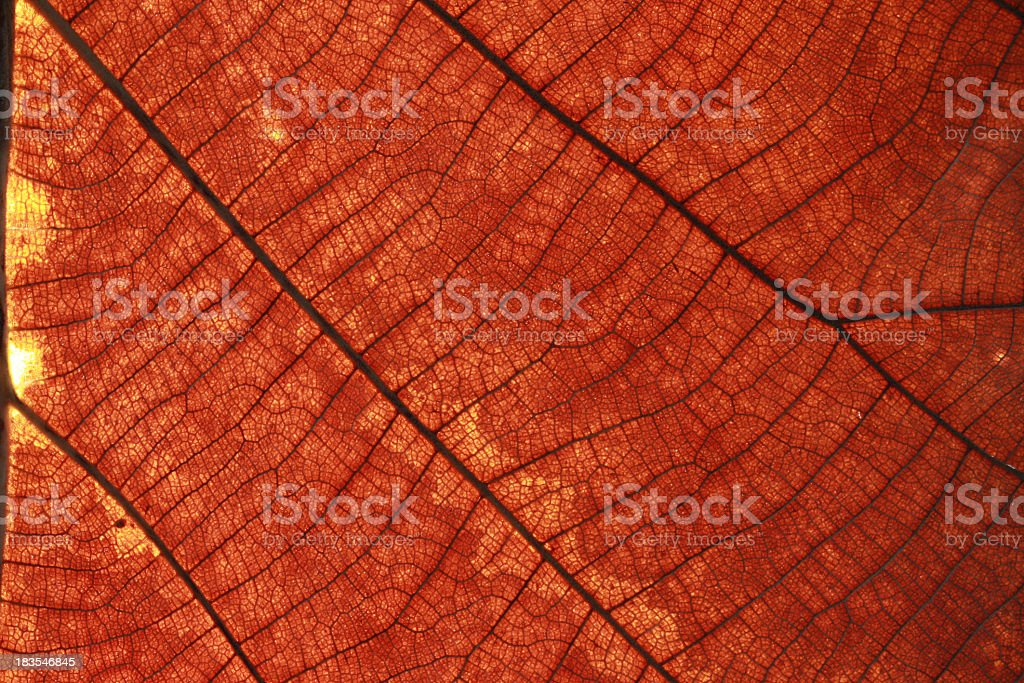 Old leaf transparance royalty-free stock photo