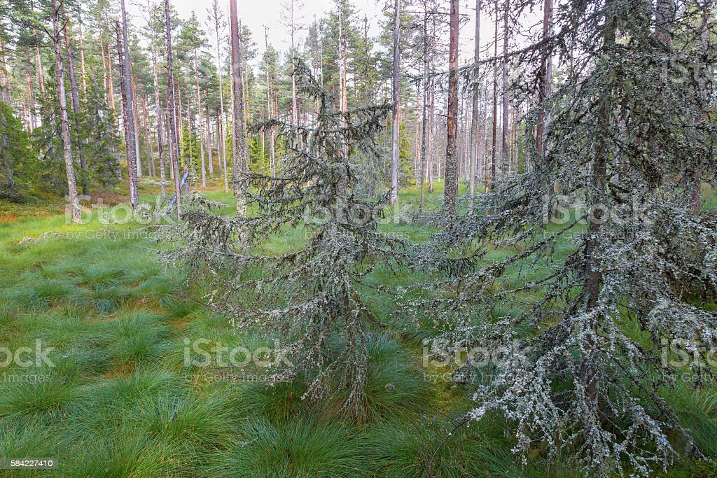 Old lichens covered trees in the woods stock photo