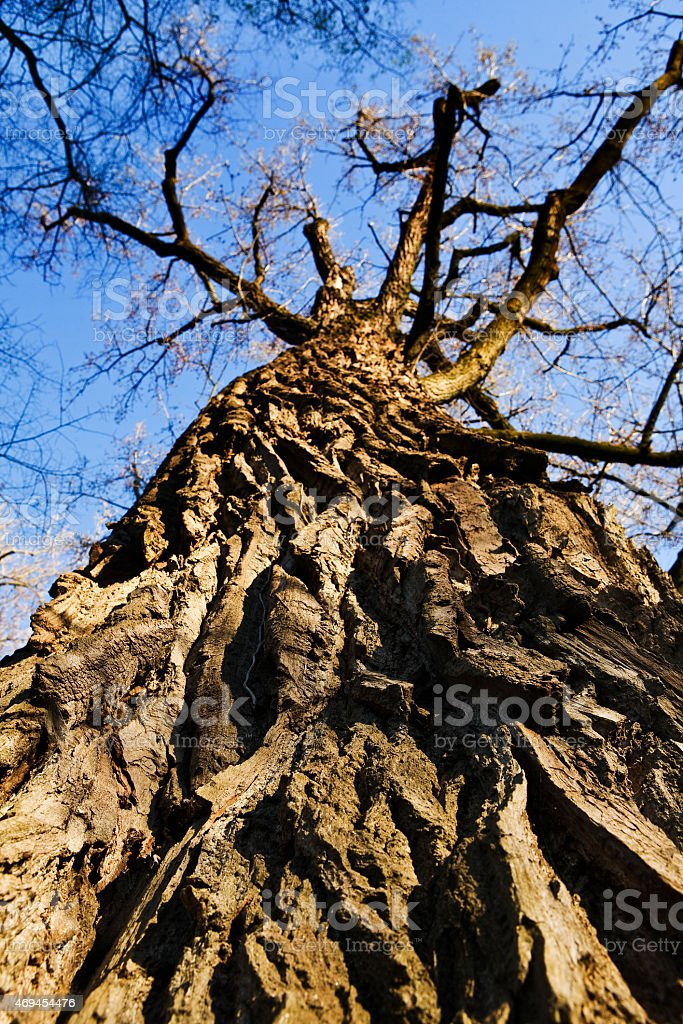 old linden tree, seen from the bottom upwards stock photo