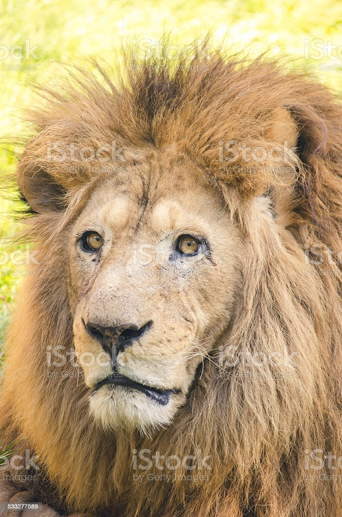 Old Lion royalty-free stock photo
