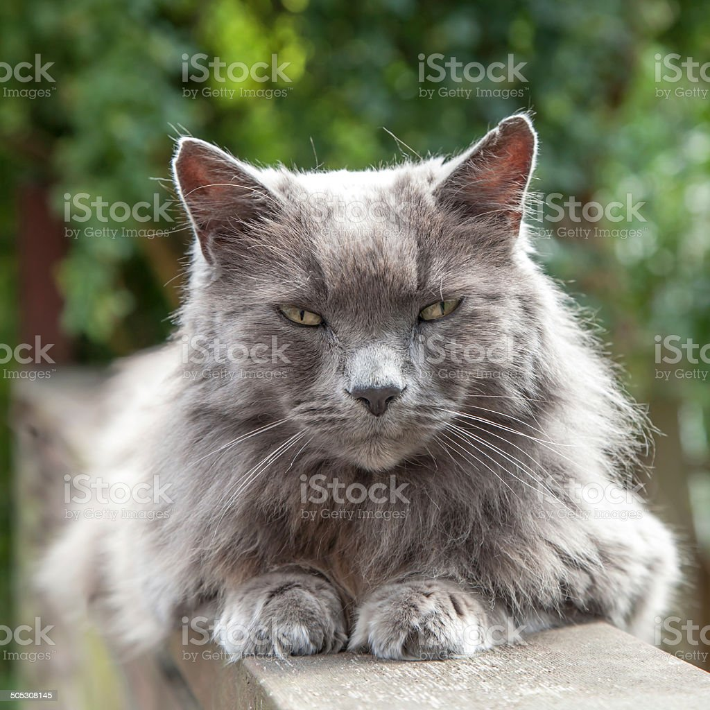 Old Long-Haired Grey Cat with Yellow Eyes on Railing stock photo