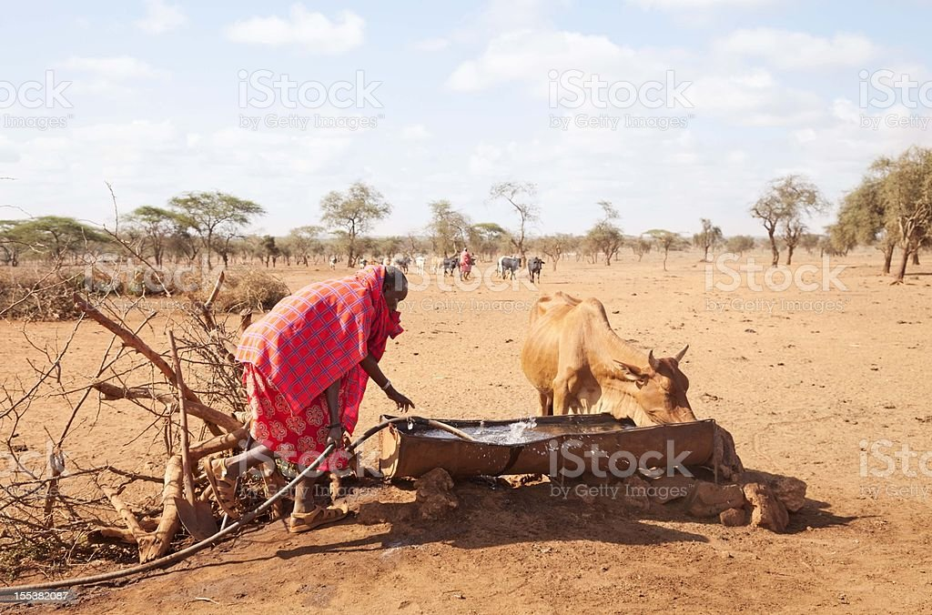 Old maasai watering his cattle in an arid landscape stock photo