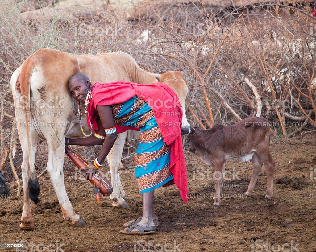Old maasai woman milking cow. stock photo