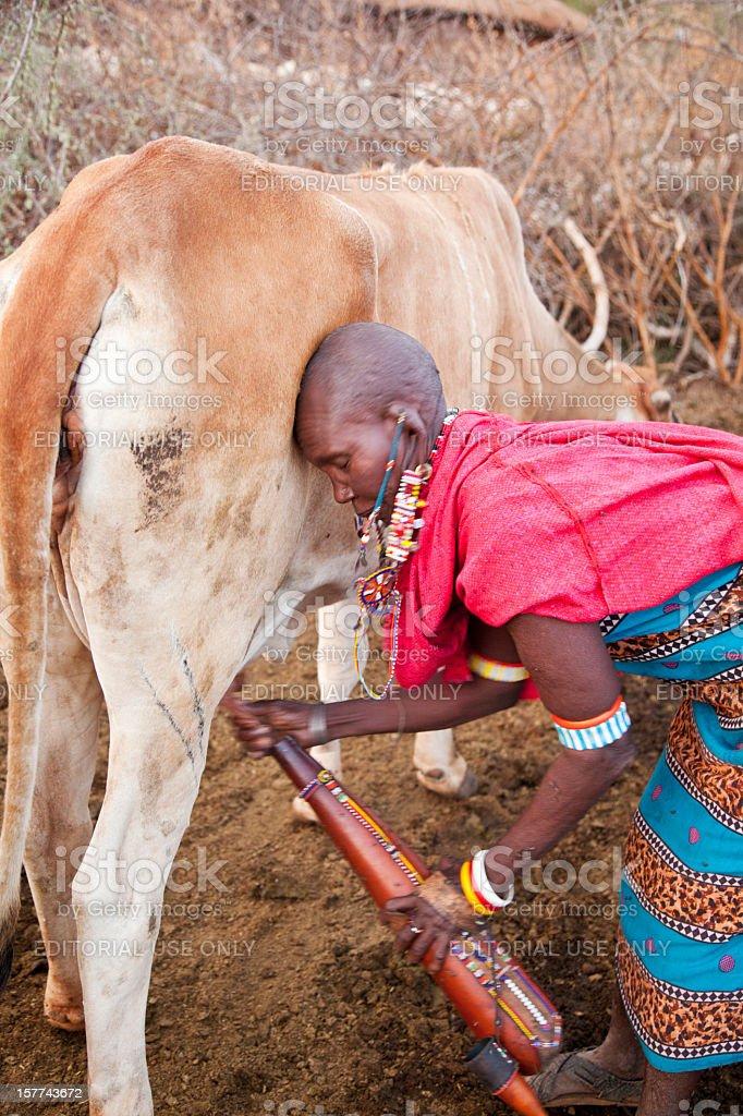 Old maasai woman milking cow. royalty-free stock photo