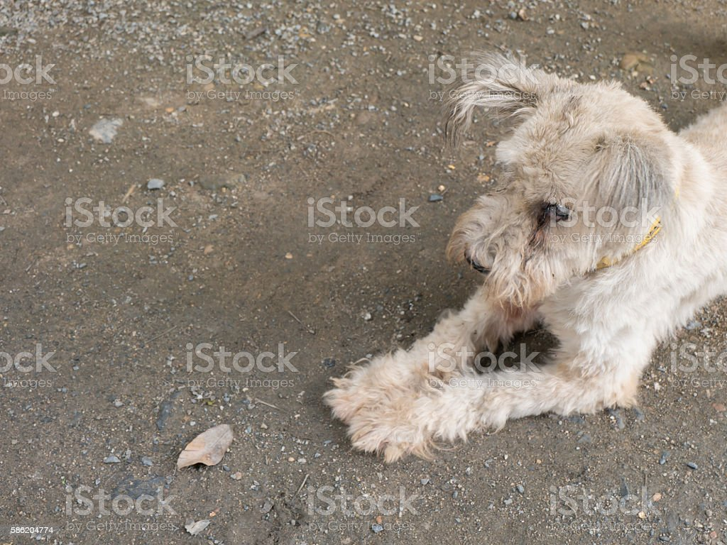 Old Maltese dog with cataract stock photo